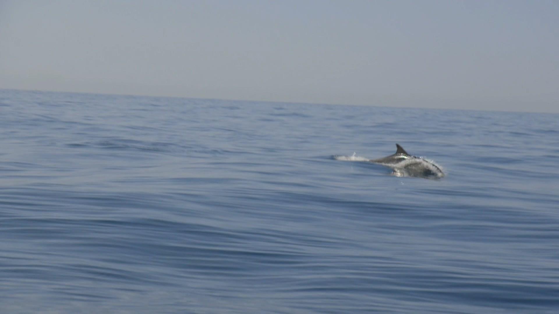 dolphin-napoli
